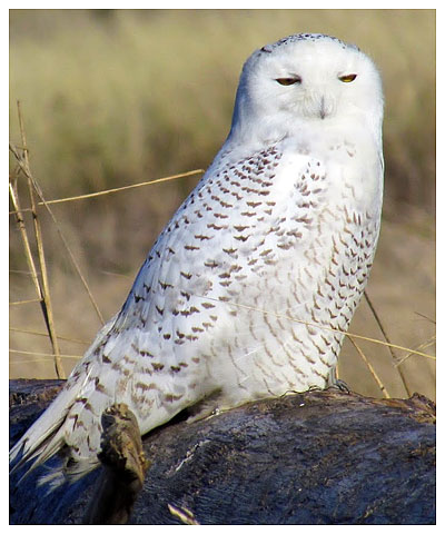 Snowy Owl by Janelle Walker